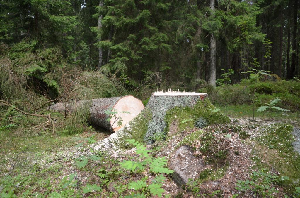 Bild på en stubbe och trädet liggandes bredvid.