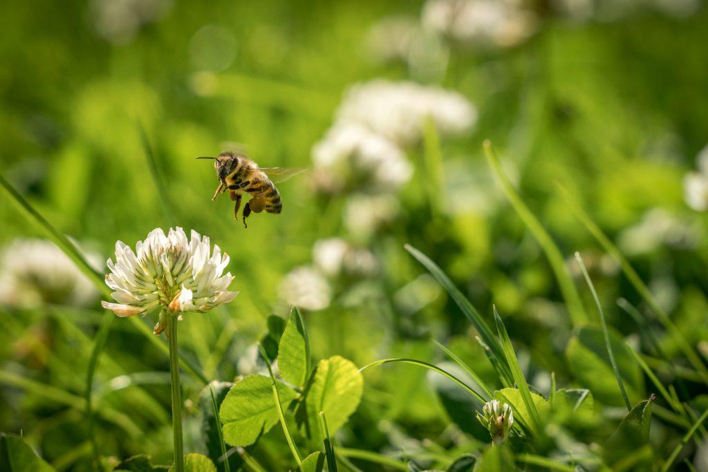 Ett bi närmar sig en klöverblomma
